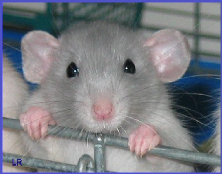 "Rada bi kupila ""srebrno"" podganico :) Rats"